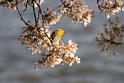 Warblers Prints - A Prothonotary Warbler On A Blooming Print by Charles Kogod