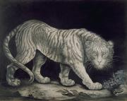 Etching Drawings Framed Prints - A Prowling Tiger Framed Print by Elizabeth Pringle