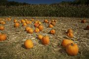 Patch Posters - A Pumpkin Patch With A Corn Field Poster by Tim Laman