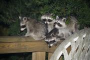 Raccoons Framed Prints - A Quartet Of Baby Raccoons Raids Framed Print by Stephen St. John