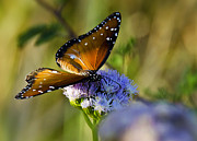 Queen Photos - A Queen Butterfly  by Saija  Lehtonen