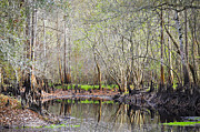 Cypress Knees Photos - A Quiet Back Woods Place by Carolyn Marshall
