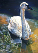 Trumpeter Swan Framed Prints - A Quiet Moment Framed Print by Deb LaFogg-Docherty