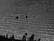 Ripples Of Black And White Prints - A quiet swim at sunset Print by Robert Ulmer