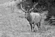 Mammals Originals - A Rack of Antlers - Roosevelt Elk - Olympic National Park WA by Christine Till