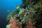 Caroline Islands Prints - A Racoon Butterflyfish And Other Fish Print by Tim Laman