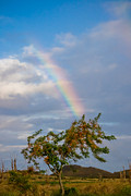 Roger Mullenhour - A Rainbow And The Rainbow Shower Tree