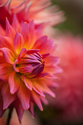 Dahlias Prints - A Rainbow of Dahlias Print by Mike Reid