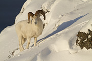 Yukon Framed Prints - A Ram and his Shadow Framed Print by Tim Grams