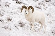 Ram Horn Art - A Ram on a Snowy Slope by Tim Grams