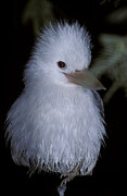 Rare Bird Metal Prints - A Rare Albino Kookaburra With White Metal Print by Jason Edwards