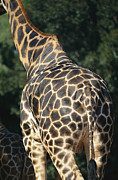 Perth Zoo Framed Prints - A Rear View Of A Rothschild Giraffe Framed Print by Nick Caloyianis