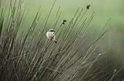 Roosting And Resting Posters - A Red Backed Shrike Perches On Field Poster by Klaus Nigge