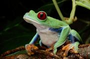 Chromatic Photo Prints - A Red-eyed Tree Frog Agalychnis Print by George Grall
