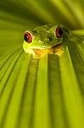 Palm Trees Fronds Posters - A Red-eyed Tree Frog Sitting On A Palm Poster by Roy Toft