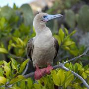Brown Booby Prints - A Red-footed Booby Sula Sula Galapagos Print by Keith Levit