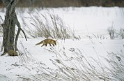 Snow Scenes Framed Prints - A Red Fox In A Snowy Landscape Framed Print by Tim Laman