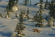 Snow Scenes Art - A Red Fox Walking Among Evergreen Trees by Norbert Rosing