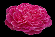 Photographs Pastels - A red rose for you by Dennis Dugan