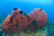 New Britain Prints - A Red Sea Fan With Crinoid Feather Print by Steve Jones