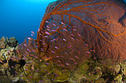 Swimming Fish Photos - A Red Sea Fan With Purple Anthias Fish by Steve Jones