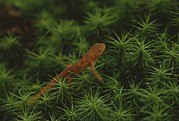 Newts Photos - A Red-spotted Newt, Notophthalmus by Bates Littlehales