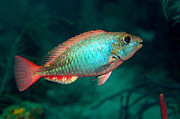 Colorful Tropical Fish  Photos - A Redband Parrotfish Floats Motionless by Terry Moore