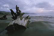 Physiology Art - A Redwood Tree Stump On A Beach by Phil Schermeister