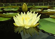 The Lotus Flower Prints - A Reflection in the Water Print by Chad and Stacey Hall