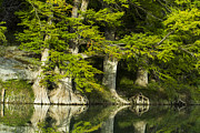 Nature Prints - A reflection of bald cypress trees Print by Ellie Teramoto