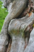 Strong Prints - A Remarkable Tree - Duncan Western Red Cedar Olympic National Park WA Print by Christine Till