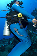 Osteichthyes Photos - A Remora Attached To A Diver, Kimbe by Steve Jones