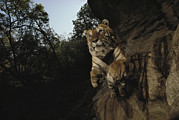 The Tiger Metal Prints - A Remote Camera Captures A Leaping Metal Print by Michael Nichols