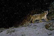 Habitats Prints - A Remote Camera Captures A Snow Leopard Print by Steve Winter