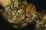 East Malaysia Framed Prints - A Reticulated Python Wound Framed Print by Tim Laman
