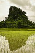 Reflection Harvest Metal Prints - A Rice Field In Asia Metal Print by Nathan Lau