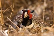Game Bird Posters - A Ring Necked Pheasant Phasianus Poster by Joel Sartore