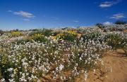 Arid Life Framed Prints - A Riot Of Wild Stock Flowers And Annual Framed Print by Jason Edwards