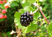 Black Berries Framed Prints - A Ripe Blackberry Framed Print by Renee Trenholm