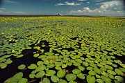 River Of Life Prints - A River Delta Filled With Lily Pads Print by Bill Curtsinger