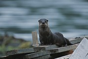Animal Portraits Prints - A River Otter Perched On Planks Of Wood Print by Joel Sartore
