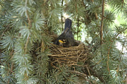 State College Prints - A Robin Incubates The Eggs In Her Nest Print by Stacy Gold