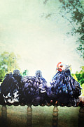 Looking Back Prints - A Rooster and His Girls Print by Stephanie Frey
