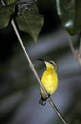Sunbird Framed Prints - A Roosting Female Yellow-bellied Framed Print by Jason Edwards