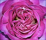 Rose Closeup Posters - A Rose Is A Rose ... Poster by Gwyn Newcombe