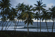 Atlantic Beaches Posters - A Row Of Palm Trees Lines The Beach Poster by Michael Melford