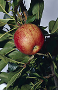 Royal Gala Framed Prints - A Royal Gala Red Apple Growing Framed Print by Jason Edwards