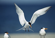 Animal Behavior Art - A Royal Tern Descending In Flight by Klaus Nigge