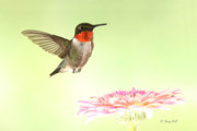 Hummingbird In Flight Posters - A Rubys Dream Flower Poster by Gerry Sibell