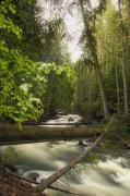 Pour Prints - A Rushing River In A Forest Print by Carson Ganci